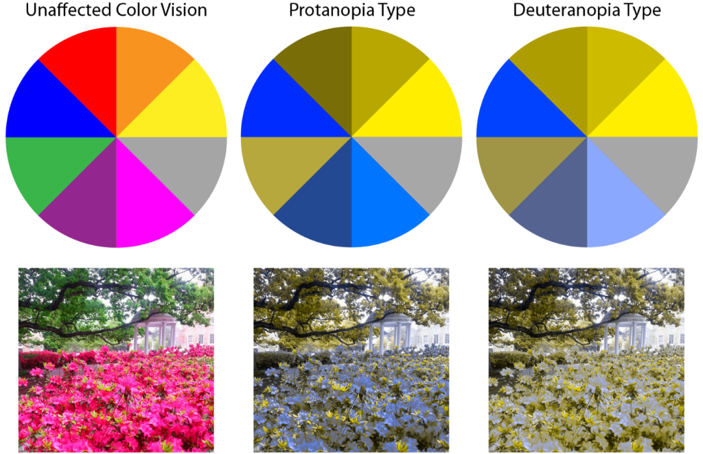 Chart depicting the difference in unaffected vision, the flowers are bright pink, Protanopia, the flowers are blue and Deuteropia, the flowers are white.